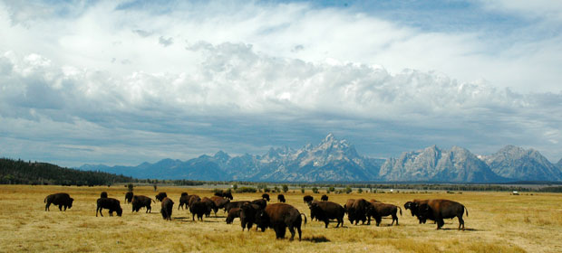 A herd of buffalo with a mountain range in the background