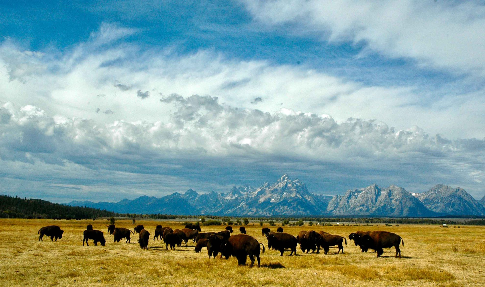 A herd of bison on dry grassland under an expansive sky with mountains in the distance
