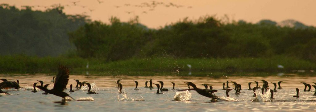 Flocks of cormorants in a lake and distant sky in orangey dusk